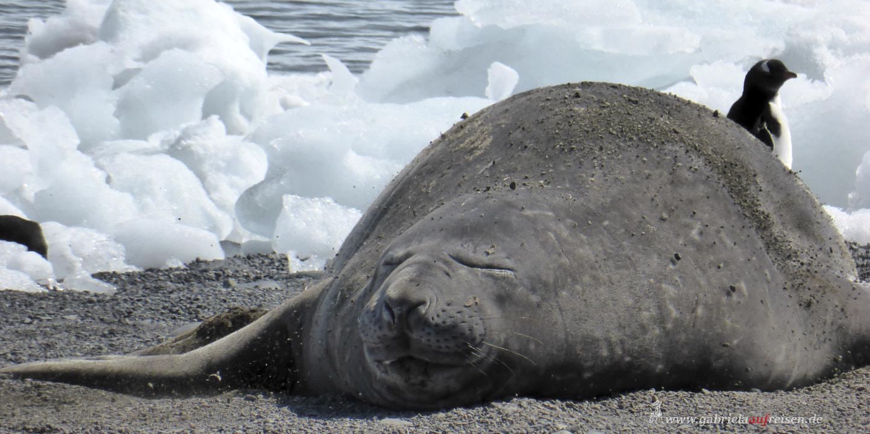 Yankee Harbour, Antarctica, elephant seal