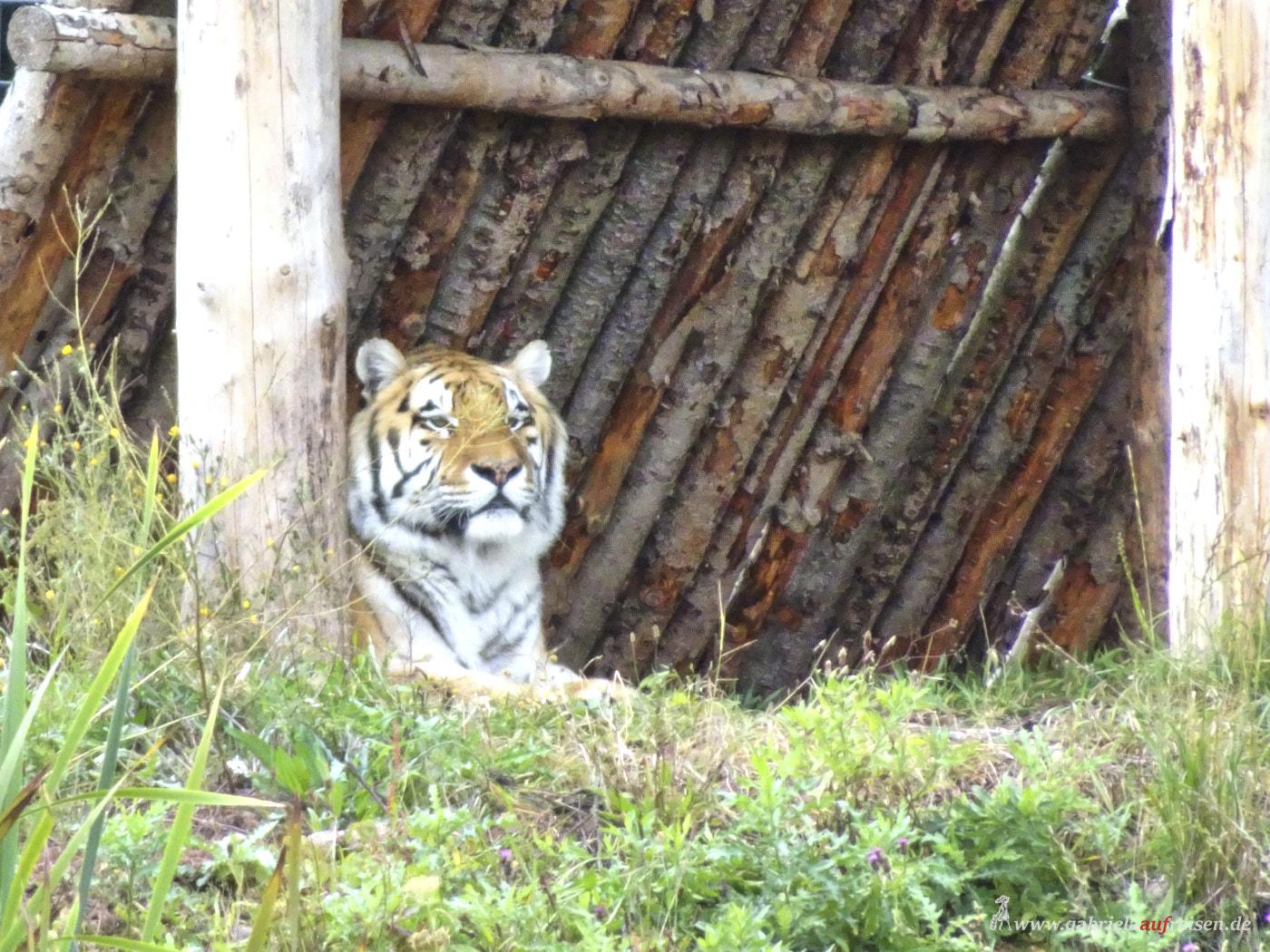 Tiger-in-Loeffingen