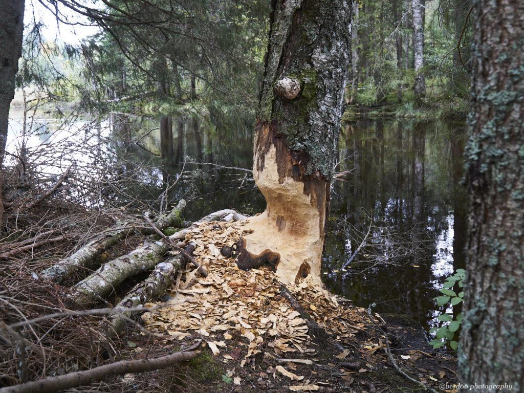 beaver-cuts-tree