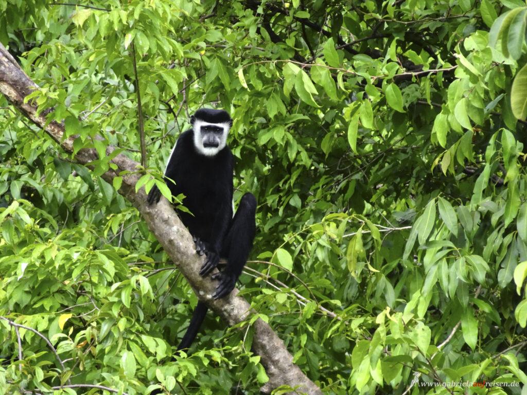black-and-white-monkey