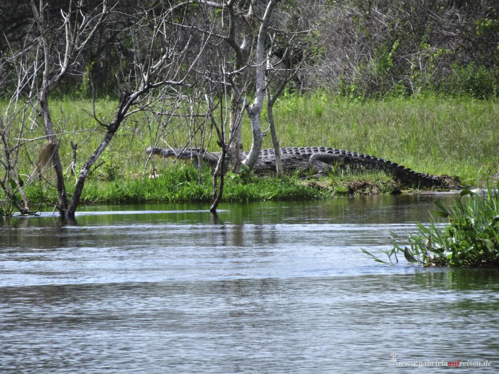 big-crocodile