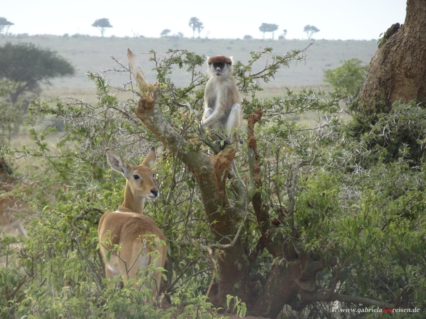 monkey-and-antilope