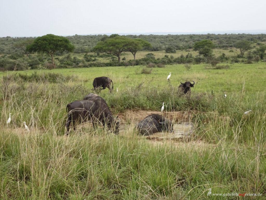 buffalos-in-a-waterhole