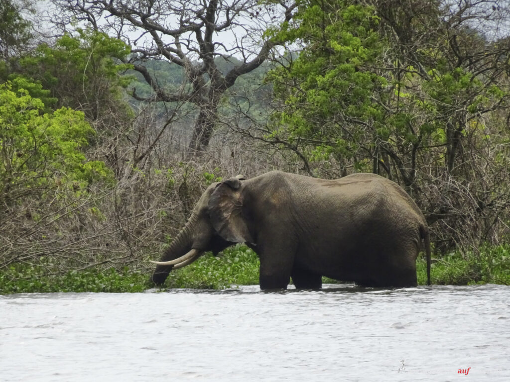 elephant-in-the-nile
