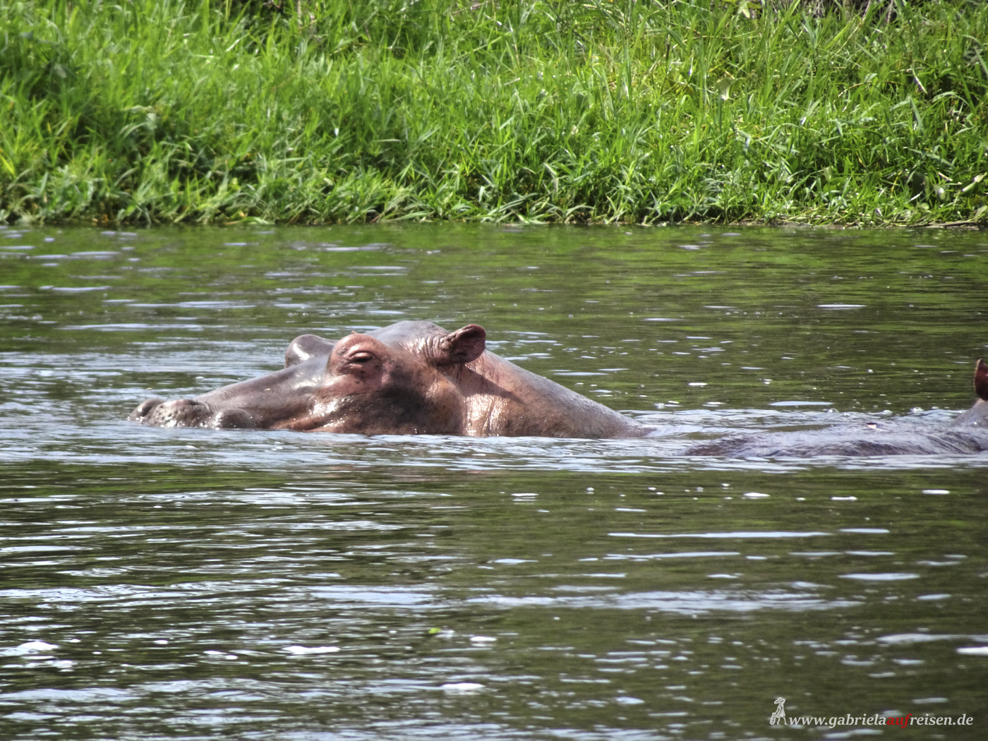 hippos-in-the-nile