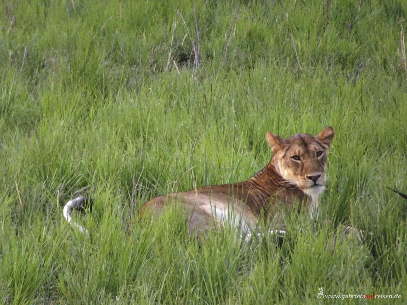 big-cat-in-Murchison-Falls-National-Park