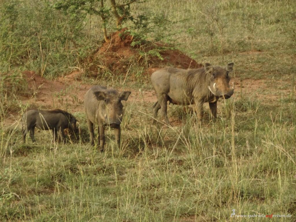 wild-pigs-in-Uganda