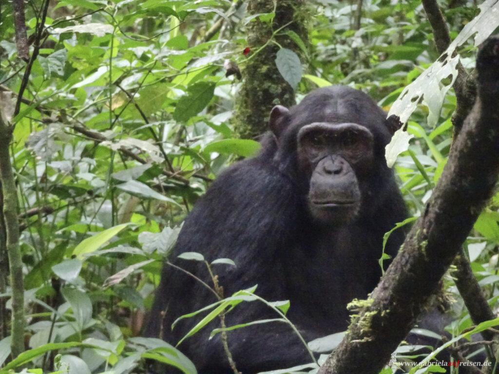 chimp-in-Kibale-National-park