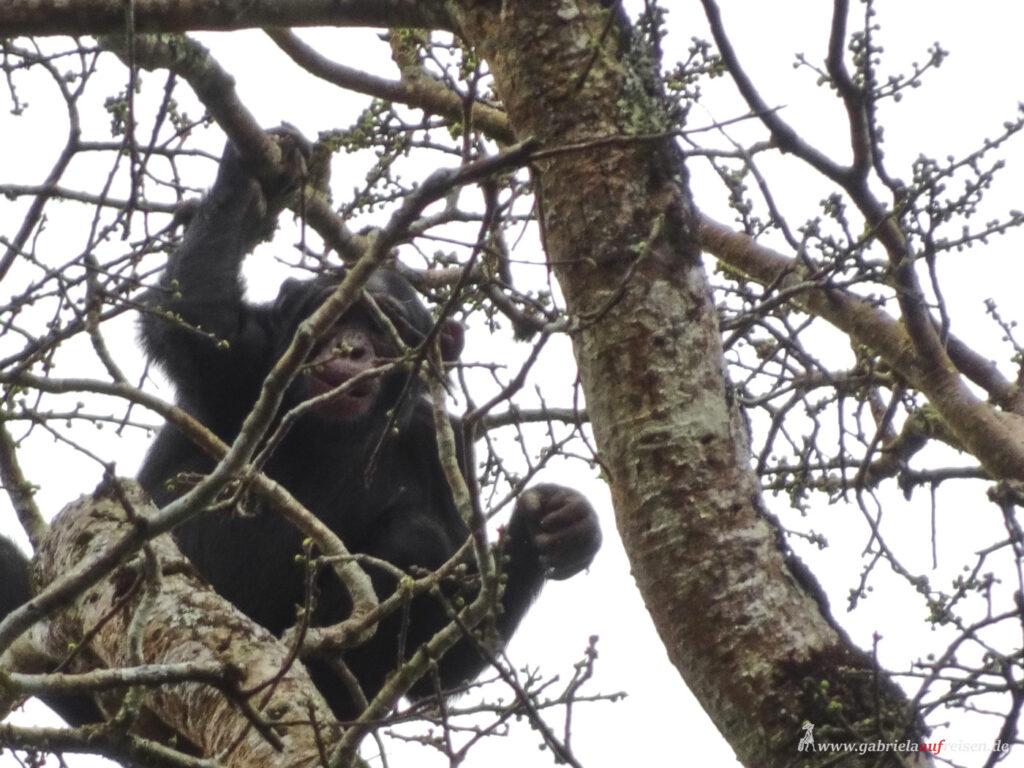 chimp-on-a-tree