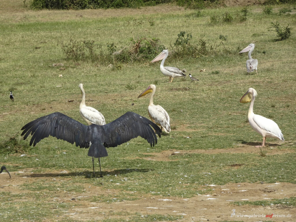 birds-in-Uganda