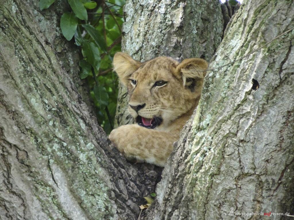 lion-cub-on-a-tree