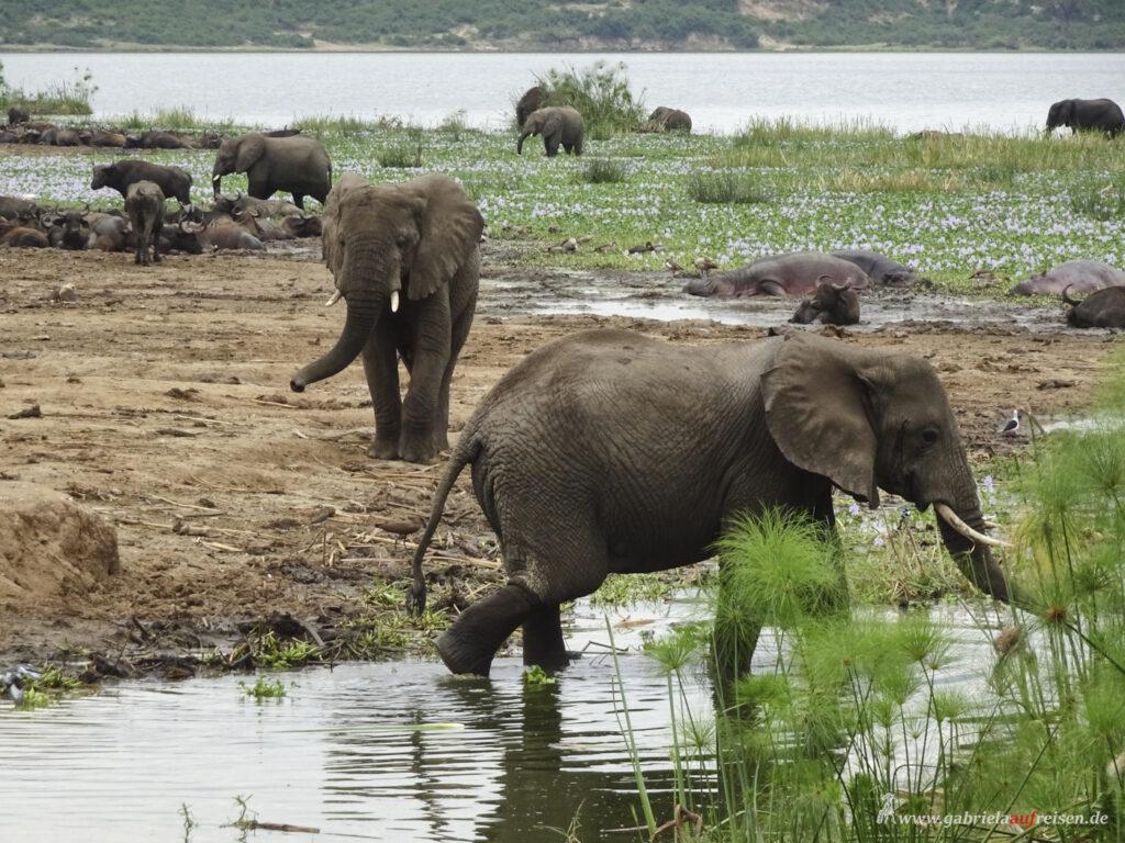 elephants-in-the-water