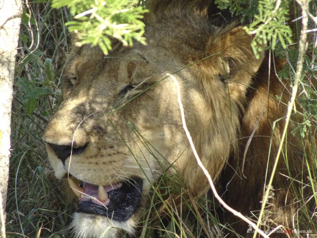 relaxing-lion
